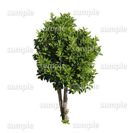 鳥瞰樹木    Bird-eye_23-サンゴジュ-ViburnumOdoratissimum