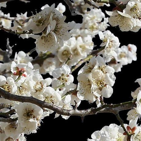 梅 切り抜きセット素材  - Plum trees  2u_05