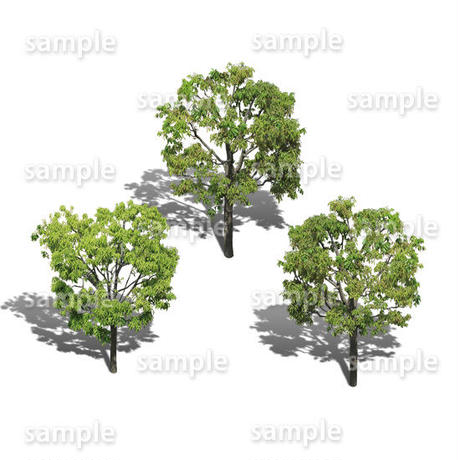 鳥瞰3本樹木    Bird-eye_03  -シラカシ-Bamboo-LeafedOak