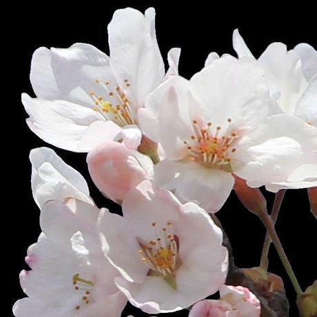 桜 切り抜き素材セット  - Cherry Blossoms   sa_006