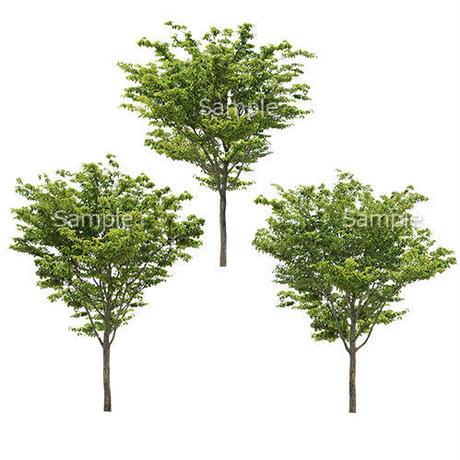 3本樹木(アイレベル) ヤマボウシ 23_023