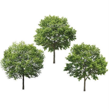 3本樹木(アイレベル) コナラ 23_018