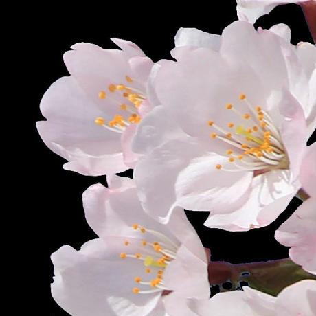 桜 切り抜き素材セット  - Cherry Blossoms   sa_005