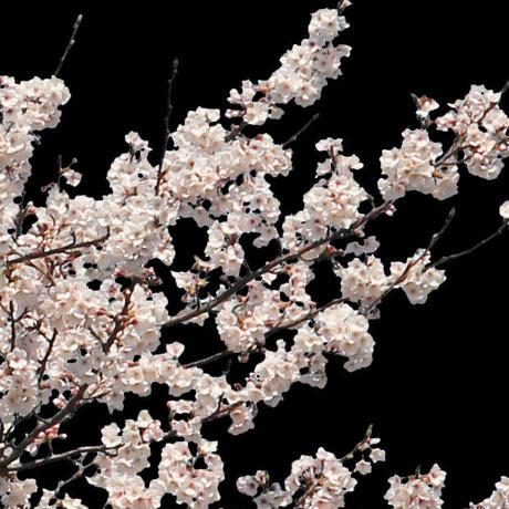 桜 切り抜き素材セット  - Cherry Blossoms   sa_014