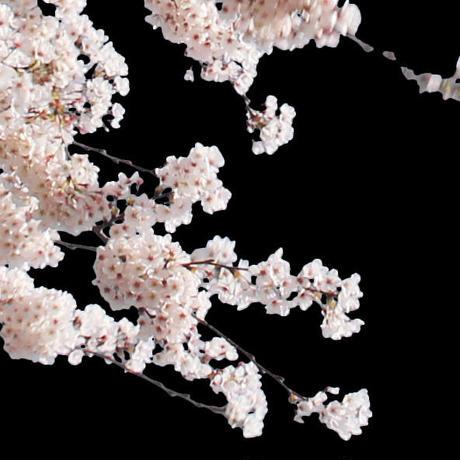 桜 切り抜き素材セット  - Cherry Blossoms   sa_012