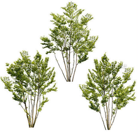3本樹木(アイレベル) アカシデ 23_007
