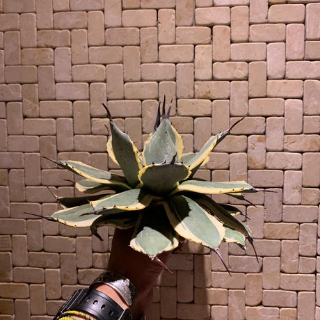 Agave Applanata Cream Spike 2