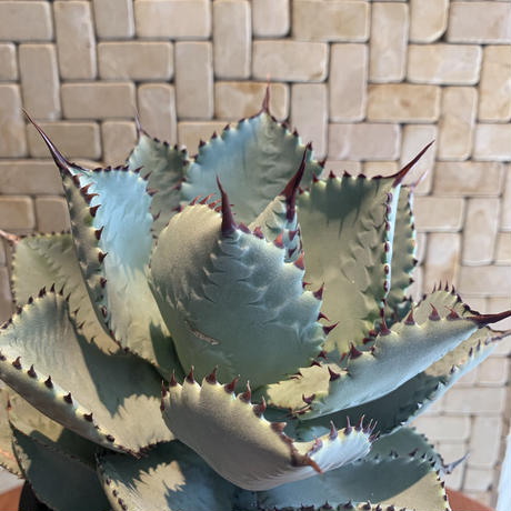 "Agave  Pygmaea  ""Dragontoes""  3"