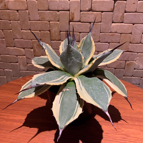 Agave Applanata Cream Spike 1