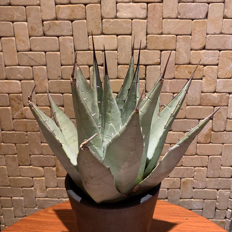 Agave Parryi Neomexicana  2
