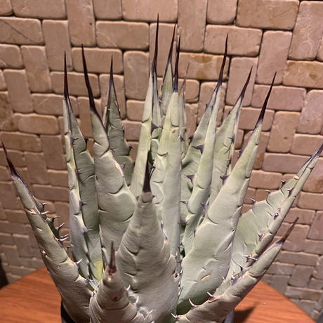 Agave Parryi Neomexicana  3