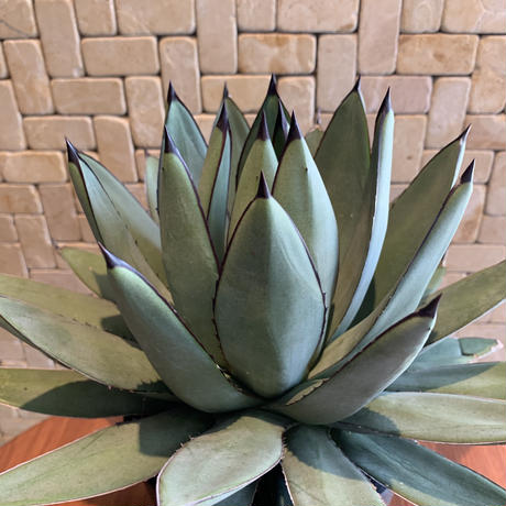 Agave  Little Shark 4