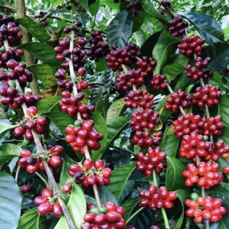【SPECIALTY COFFEE】250g Panama Mi Finquita GEISHA 1.650m F. W. / パナマ ミ・フィンキータ農園 ゲイシャ種 F.W.