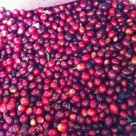 【SPECIALTY COFFEE】500g Costa Rica La Nena Brumas 1.350m Red Honey / コスタリカ ラ・ネナ農園 ブルマスミル レッドハニープロセス
