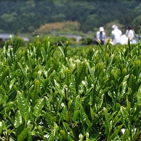 日本最北限の村上茶 高品質パウダー 300g