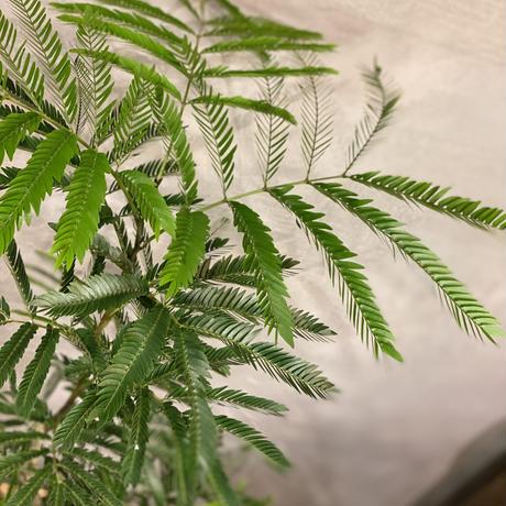 【観葉植物】エバーフレッシュ ねむの木
