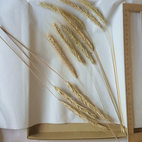 ライ麦の穂 20本 自家自然栽培(2021産) ディスプレイ用