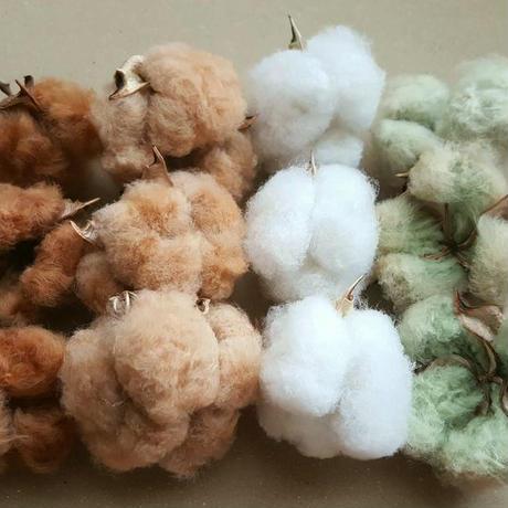 カラ付実綿(コットンボール)  緑と白からよりどり3個セット 無染色・自家自然栽培綿