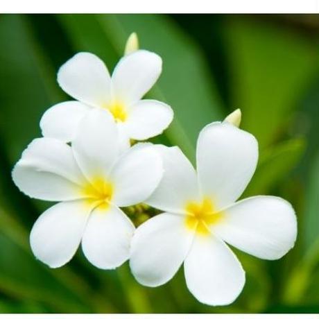 Healing Aroma Mist  【Tirta plumeria】50ml