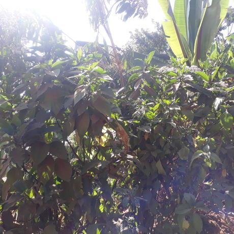 エチオピア ナチュラル豆1㎏ミディアムロースト
