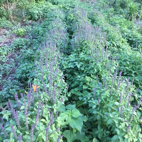 西伊豆産自然農ハーブティー トゥルシーバジル