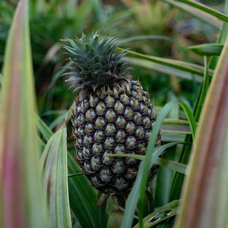 乾燥青果 パイナップル(2020年産)