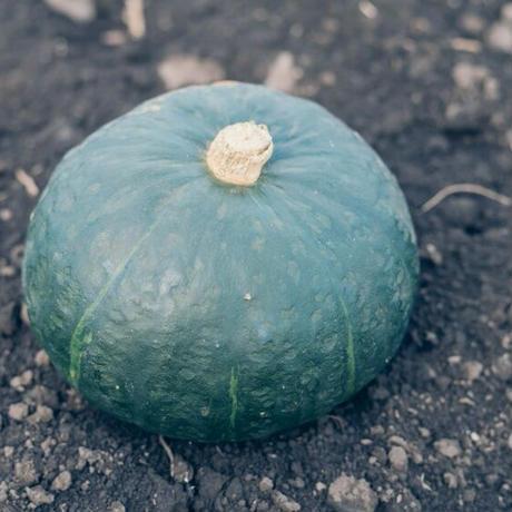 【2個入り約4キロ】信州伊那谷のやまとわが無農薬で栽培したかぼちゃ