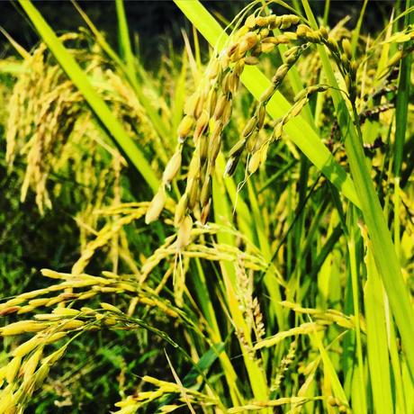ヒノヒカリ玄米 5kg