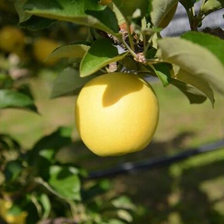 【新発売】はちみつりんごバター~シナノゴールド~(3本入り)