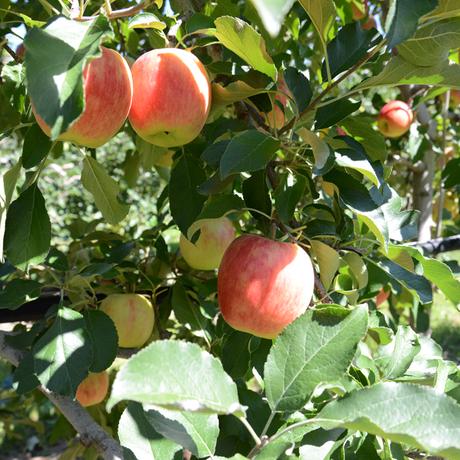 【県知事賞受賞】りんごとクリームチーズ~シナノドルチェ~(3本入り)