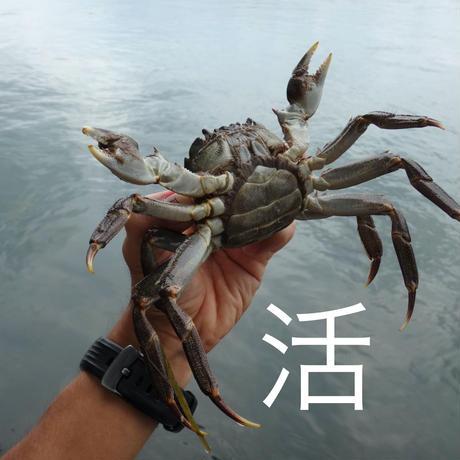 【活】雌モクズガニ / 90g前後 × 5杯