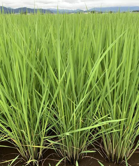特別栽培ミルキークイーン 白米5kg