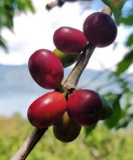 南国フルーツの複雑なニュアンスと重厚感「マンデリン・ビッグアチェ」シティロースト(中深煎り)100g