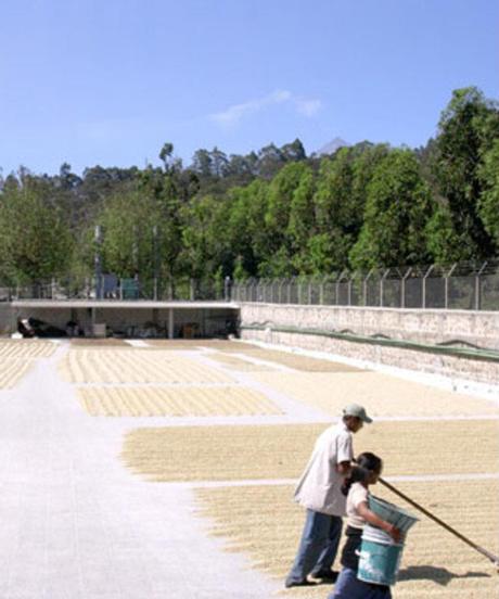 グアテマラ アルト・デ・メディナ農園 500g   中煎り