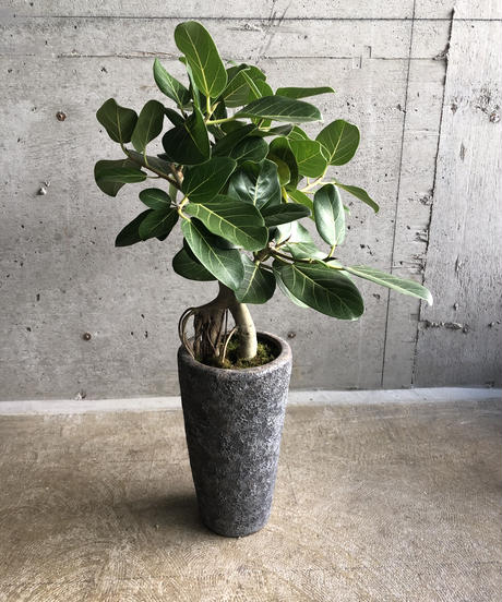△ゴムの木 ベンガレンシス