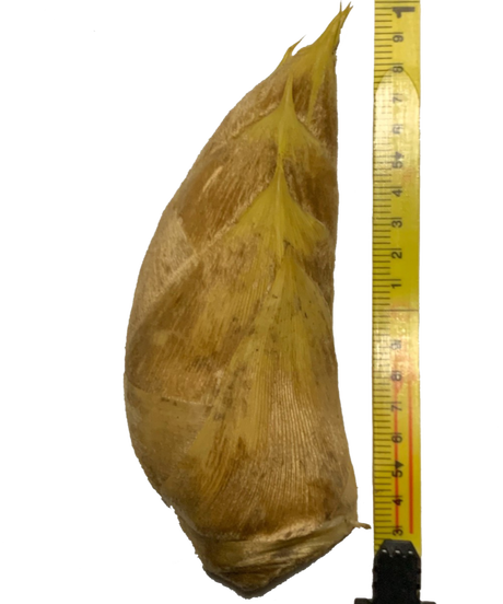 早掘り筍12月~2月「サイズ:特大 ・ 400~700g/本 (1.5㎏)」