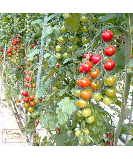 トマトジュース160ml  30本入