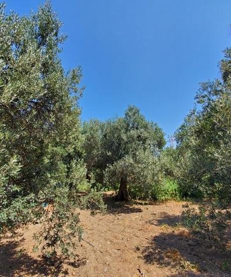 Monteida* 早摘みオリーブオイル  Extra Virgin Olive Oil (トルコ産) 500ml