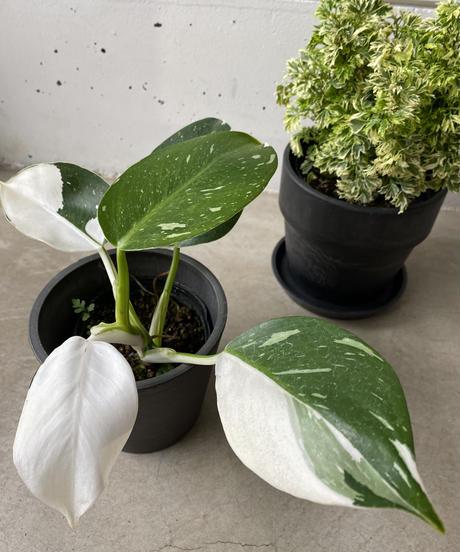 観葉植物(ポリシャス)3点セット 送料込み