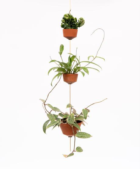 Hoya carnosa compacta / Hoya pubicalyx 'SilverPink' / Hoya 'Golden Margin' + OP