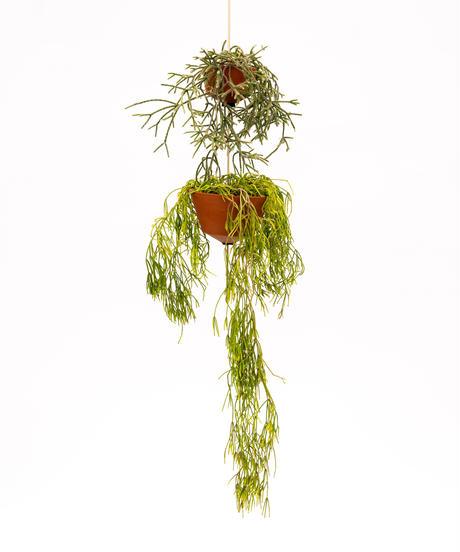 Rhipsalis pilocarpa / Rhipsalis cassutha + OP