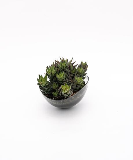 Haworthiopsis coarctata / Haworthia enon + Lotus (Recycled glass)