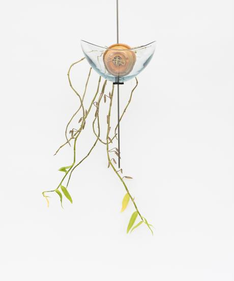 Dendrobium aphyllum + Lotus