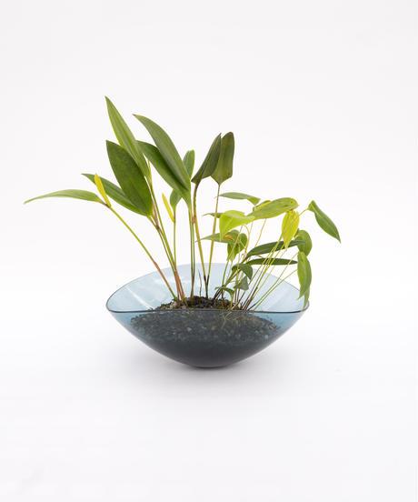 Pleurothallis anceps / antonensis / dunculata + Lotus (Recycled glass)