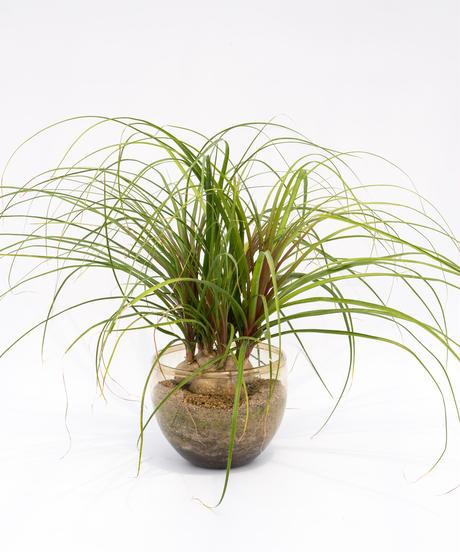 Beaucarnea recurvata + SP Pot