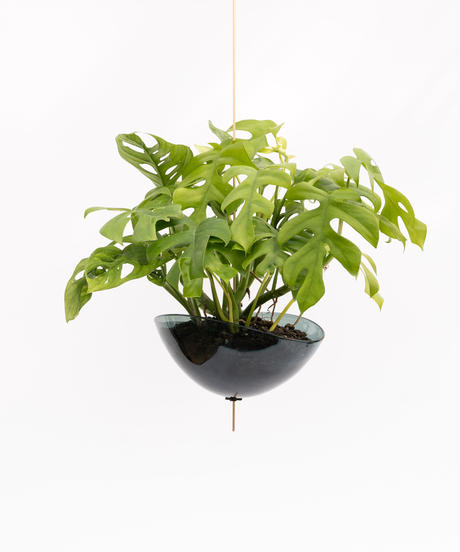 Monstera friedrichsthalii / Rhaphidophora tetrasperma + Lotus (Recycled glass)