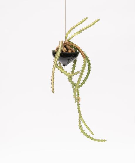 Euphorbia knuthii + SP Pot (Recycled glass)