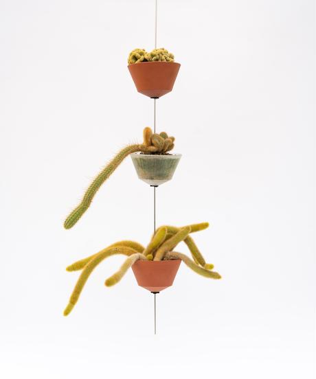 Mamillaria elongata f. crist. / Cleistocactus winteri f. crist. / Cleistcactus winteri + GOP + OP