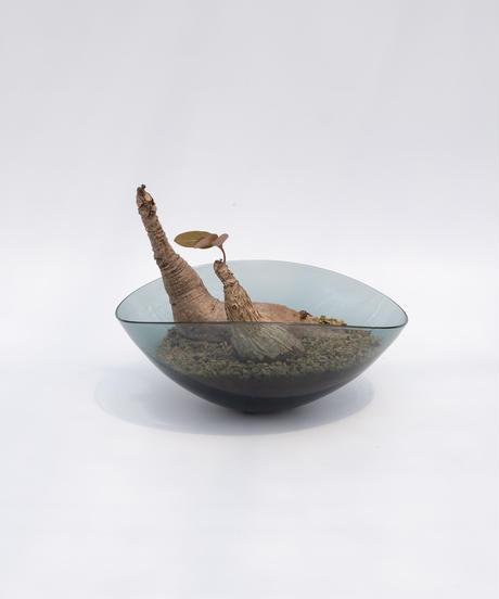 Phyllanthus mirabilis + Lotus (Recycled Glass)
