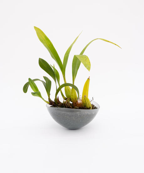 Den.treacherianum / Coel. lawrenceana + Shell Pot (Recycled glass)